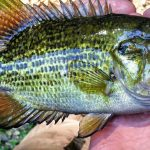 Everything You Need to Know About Bluegill Fishing