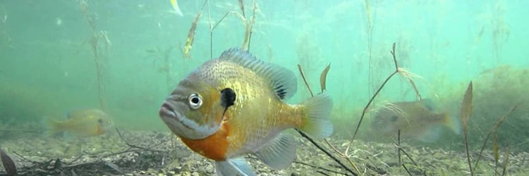 Know the Places Bluegills Build Their Nests
